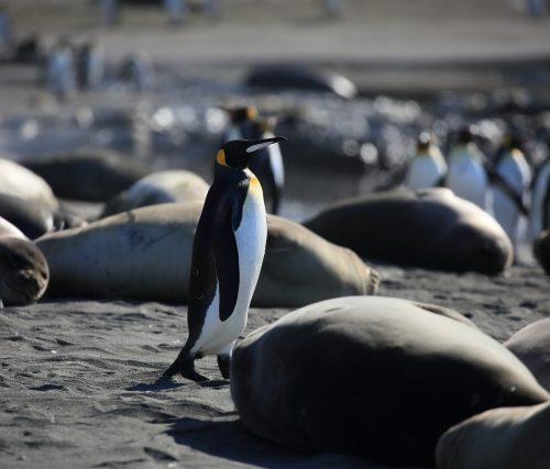 ペンギンとペンギンの群れ